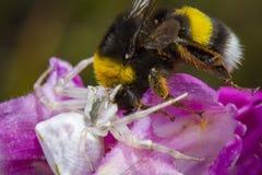 Weinig die honingbij door spin wordt gevangen stock foto