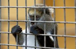 Weinig droevige aap achter kooi in dierentuin royalty-vrije stock foto