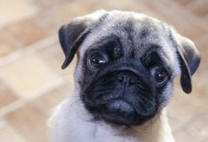 Weinig droevige pug stock fotografie