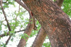 Weinig eekhoorn beklimt op een boom royalty-vrije stock foto's