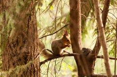 Weinig eekhoorn die noot eet Royalty-vrije Stock Afbeelding