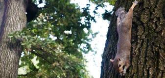 Weinig eekhoorn het spelen in het park stock foto's