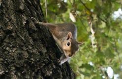 Weinig eekhoorn het spelen in het park stock foto