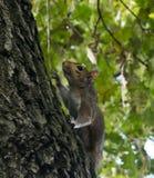 Weinig eekhoorn het spelen in het park stock fotografie