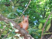 Weinig eekhoorn kijkt in kader royalty-vrije stock afbeelding