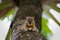 Weinig eekhoorn op een palm royalty-vrije stock foto's