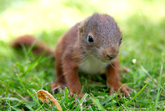 Weinig eekhoornbaby Stock Foto
