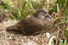 Weinig eend op nest Royalty-vrije Stock Fotografie