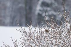 Weinig Europese Robin in sneeuw behandelde takken stock afbeelding