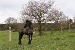 Weinig Friesian veulen die zich in een natuurlijk landschap bevinden stock afbeeldingen