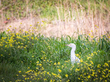 Weinig garzetta die van Aigretteegretta op het gras op het gebied lopen Stock Afbeeldingen