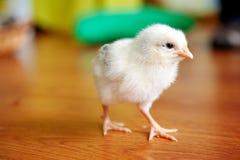 Weinig gele kip op houten vloer, allebei van kuikens, Pasgeboren van kip royalty-vrije stock foto's