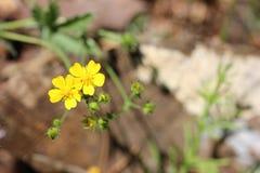 Weinig Gele Wildflowers Stock Foto