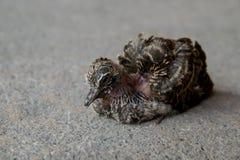 Weinig gestreepte de duif alleen tribune van de vogelbaby Royalty-vrije Stock Fotografie