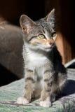 Weinig gestreepte katkatje Stock Foto's