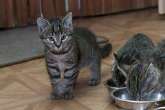 Weinig gestreepte katkatjes Royalty-vrije Stock Afbeeldingen