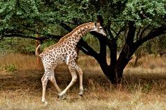 Weinig giraf in Afrika Stock Afbeelding