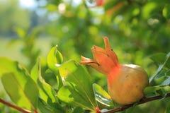 Weinig granaatappel Stock Foto