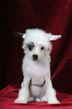 Weinig grappig puppy zit op fluweelachtergrond Royalty-vrije Stock Foto's