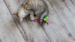 Weinig grijs katjesspel met stuk speelgoed op de vloer stock videobeelden