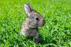 Weinig grijs konijn op het groene gazon Stock Foto