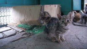 Weinig Grijze en Witte Dakloze Kitten Looks in de Camera Langzame Motie stock videobeelden