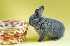 Weinig grijze konijnzitting dichtbij mand met kwartelseieren op een gele achtergrond Pasen-dag stock fotografie