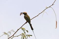 Weinig groene bij-eter Merops-orientalis die een bidsprinkhaan eten stock fotografie