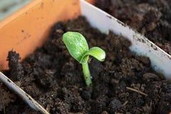 Weinig groene courgettespruit, zaailing het groeien in een pot in de lente dicht omhoog royalty-vrije stock afbeeldingen