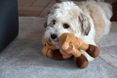 Weinig havanese puppy met zijn favoriet stuk speelgoed royalty-vrije stock fotografie