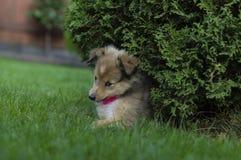 Weinig Herder van puppyshetland Royalty-vrije Stock Fotografie