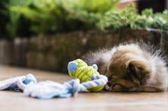 Weinig Herder van puppyshetland royalty-vrije stock foto
