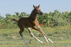 Weinig het Arabische merrieveulen spelen op het gebied royalty-vrije stock afbeelding