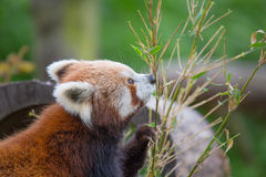 Weinig het Eten van de Panda Stock Afbeelding