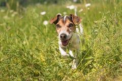 Weinig het glimlachen hond loopt in een bloeiende weide in de lente Oud Jack Russell Terrier 11 jaar royalty-vrije stock fotografie