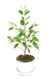 Weinig het groeien boom Royalty-vrije Stock Foto