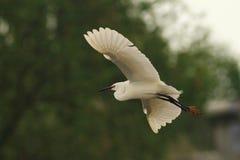 Weinig het vliegen van Aigretteegretta Garzetta Royalty-vrije Stock Fotografie