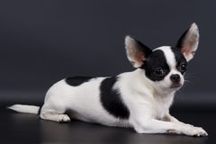 Weinig hond Royalty-vrije Stock Afbeelding