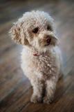 Weinig hond stock foto