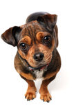 Weinig Hond royalty-vrije stock foto's