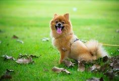 Weinig Hond Stock Afbeelding