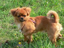 Weinig hond royalty-vrije stock fotografie