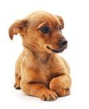 Weinig Hond Royalty-vrije Stock Afbeeldingen