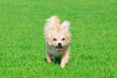Weinig hond die op het gras liggen Royalty-vrije Stock Afbeeldingen