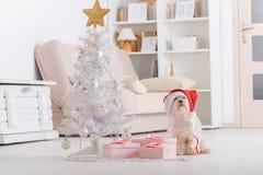Weinig hond die Santa Claus-hoed dragen Royalty-vrije Stock Afbeelding