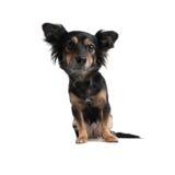 Weinig Hond die wideangle kijkt Stock Foto's