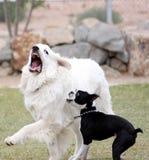 Weinig hond het plukken op de grote hond Royalty-vrije Stock Foto