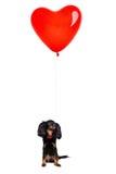 Weinig Hond met een Rood Ballonhart Stock Foto