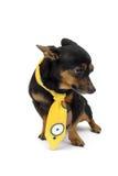 Weinig hond met gele halsdoek stock foto's
