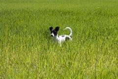 Weinig hond op het gazon Royalty-vrije Stock Foto's